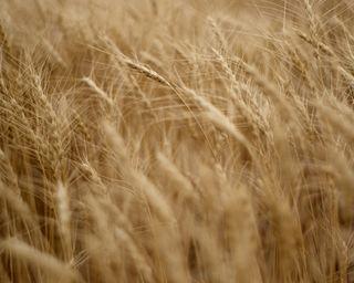 Wheat (1280x1024)